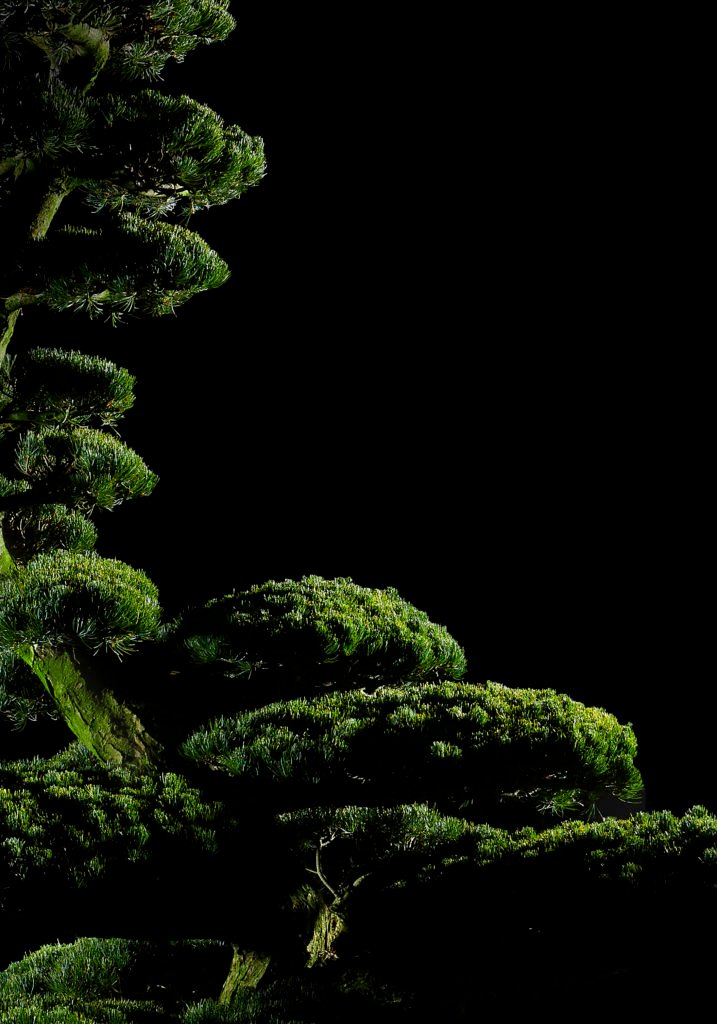 Eversgreen_Bonsai1