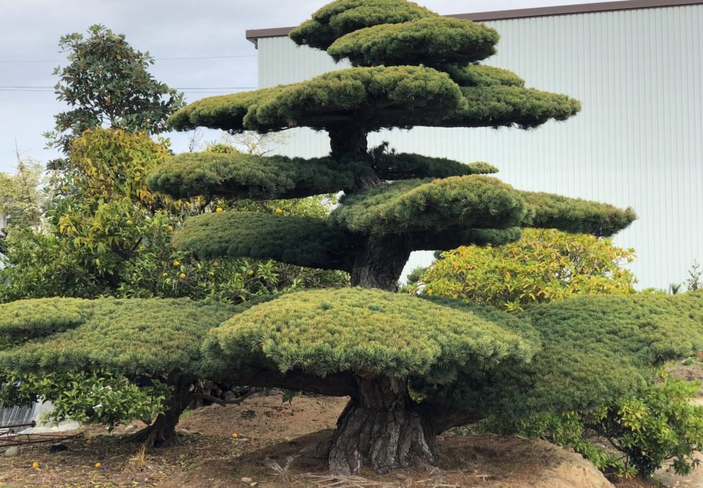 Eversgreen_Bonsai3